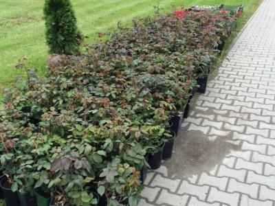 sadenice ruží pred výsadbou